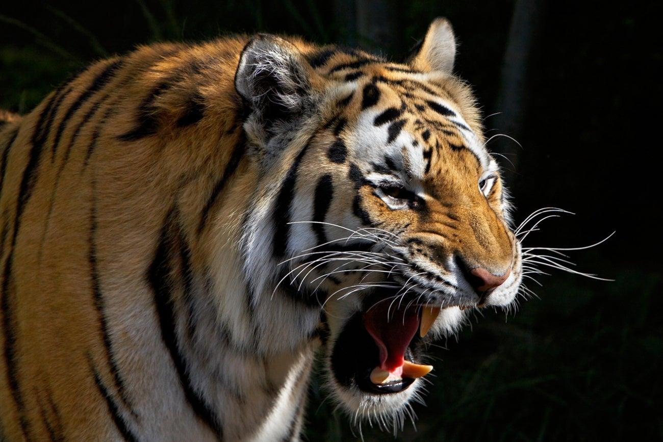 how to get beast roar