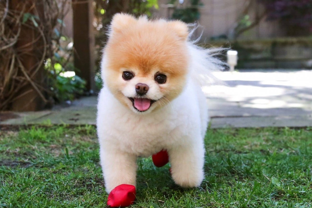pomeranian boo dogs meet the 5 most influential dogs on the internet infographic 8674