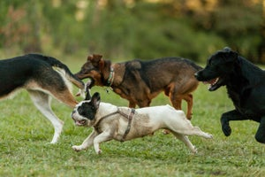 Are You a Border Collie, Jack Russell Terrier, Pit Bull or Poodle? Why You Need All Four to Grow Your Six-Figure Business.