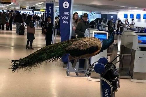 Emotional Support Peacock Rejected to Fly by United Airlines