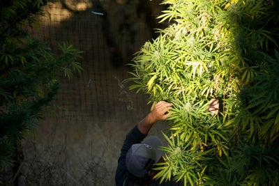 Despite Being Illegal Under Federal Law, Cannabis Has Grown Into a $9...