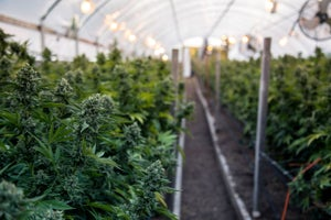 The Challenges of Growing a Cannabis Business