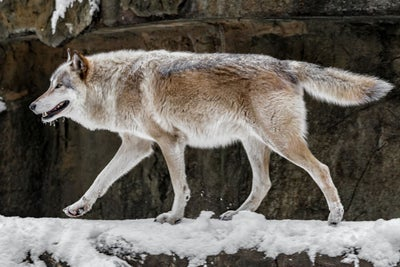 Taming the Lone Wolf: 4 Ways for Sales Leaders to Promote a Pack Menta...