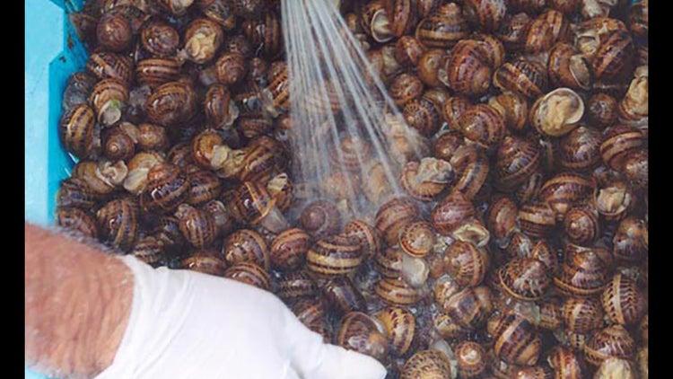 Crianza de caracoles