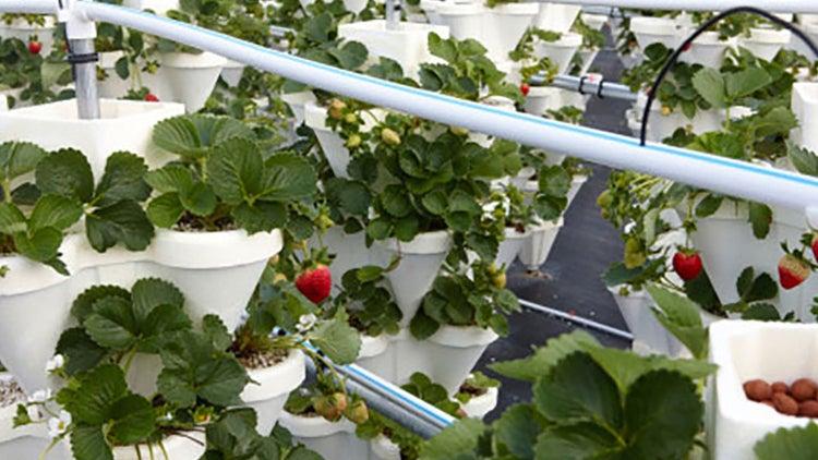 Cultivos hidropónicos