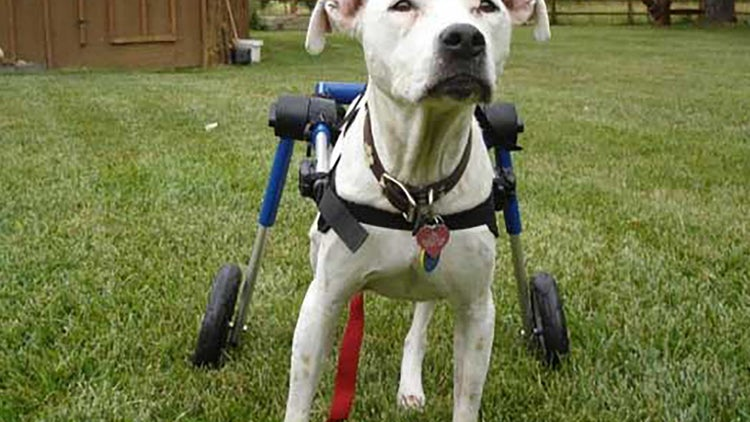 Sillas de ruedas para mascotas