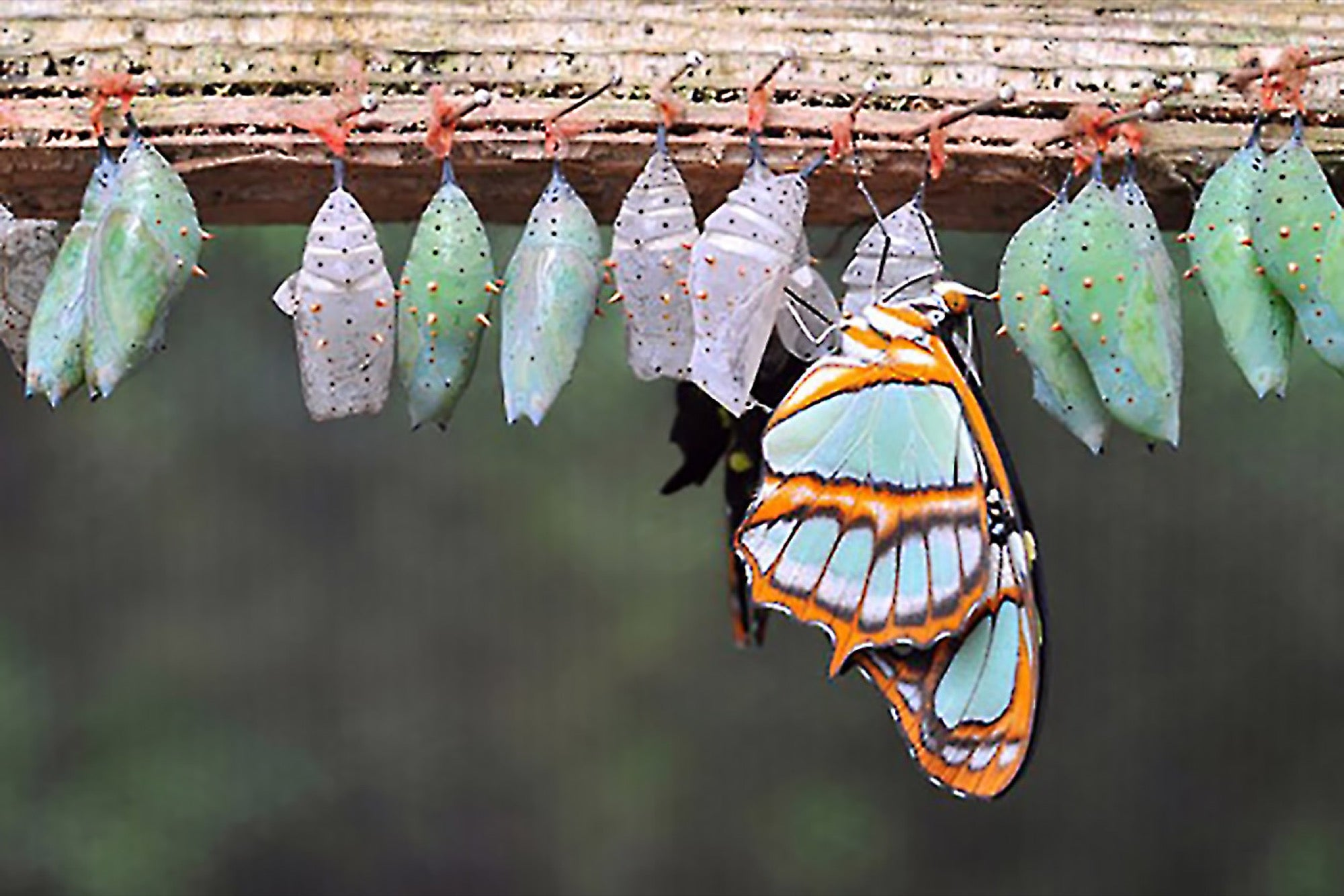 how do caterpillars change into butterflies
