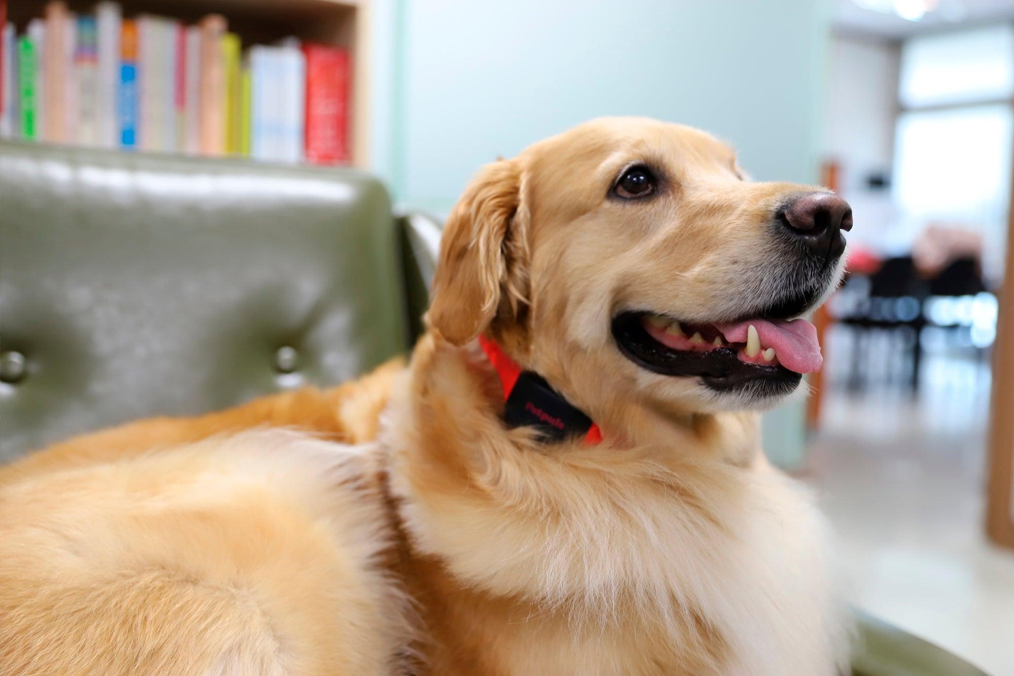 entrepreneur.com - Entrepreneur en Español - You can understand your tenderloin! This collar translates your dog's barking using artificial intelligence