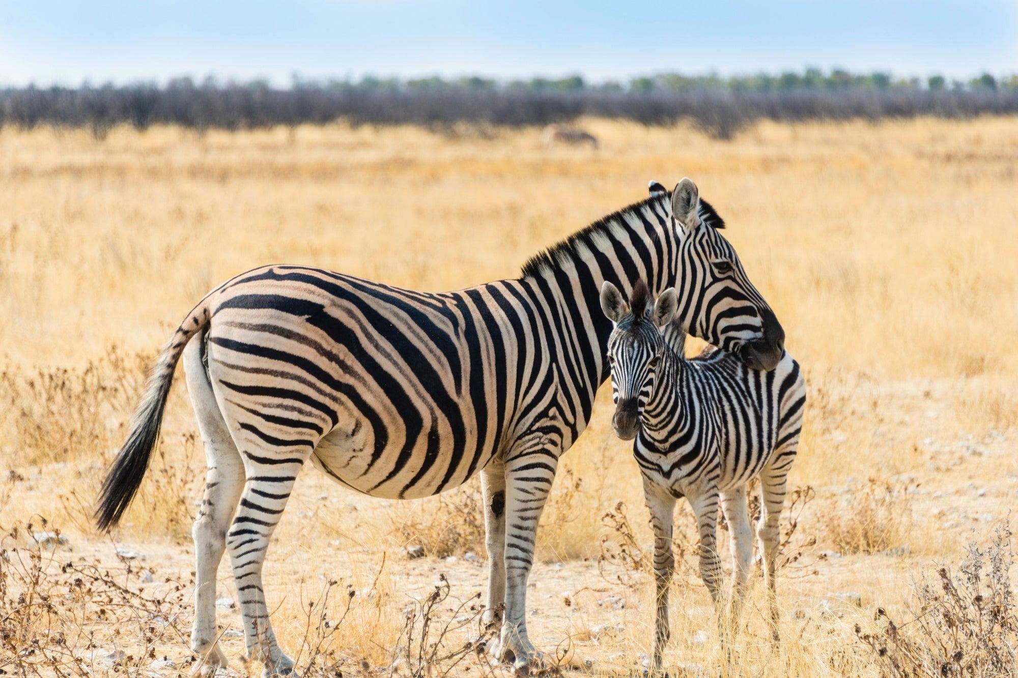 Zebra companies, not unicorns, will rebuild Latin America's economy in 2021
