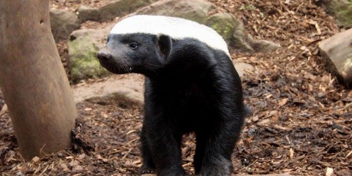 Never Hire A Honey Badger