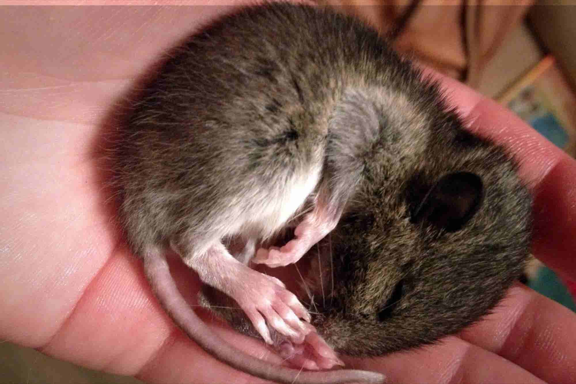 New Study Finds Rats May Plan for the Future While Dreaming