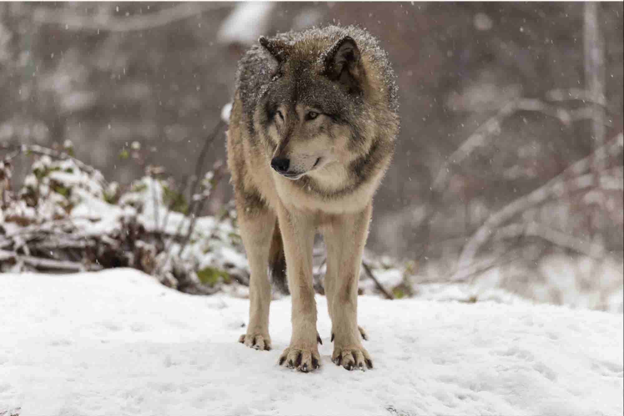 Become the Lone Wolf: 3 Ways to Separate Your Startup From the Pack