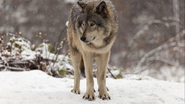 lone wolf läder