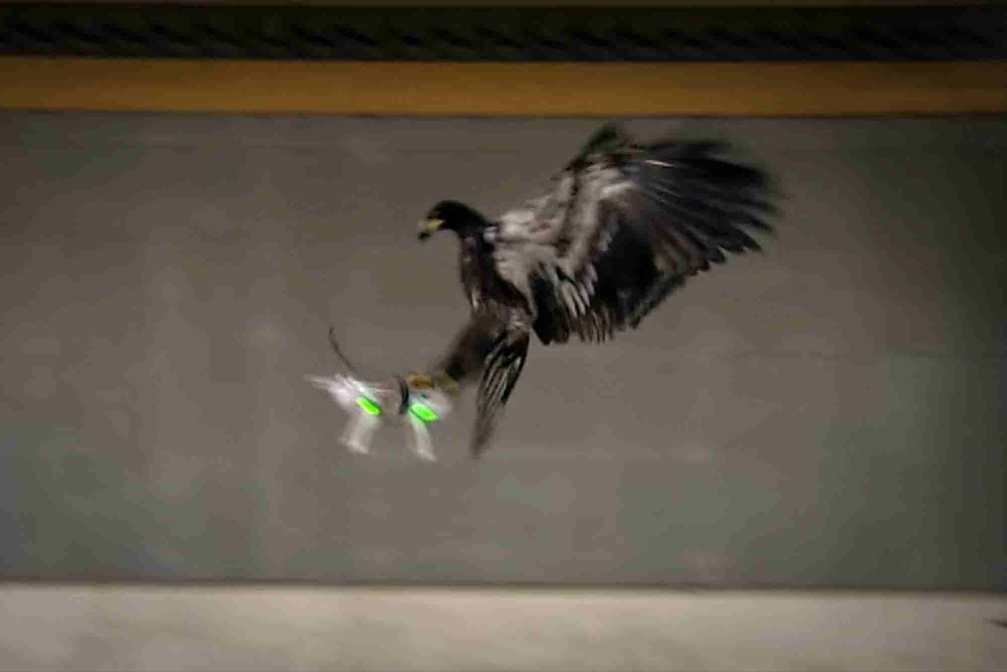Mighty Eagles Are Being Trained to Snatch Drones From the Sky