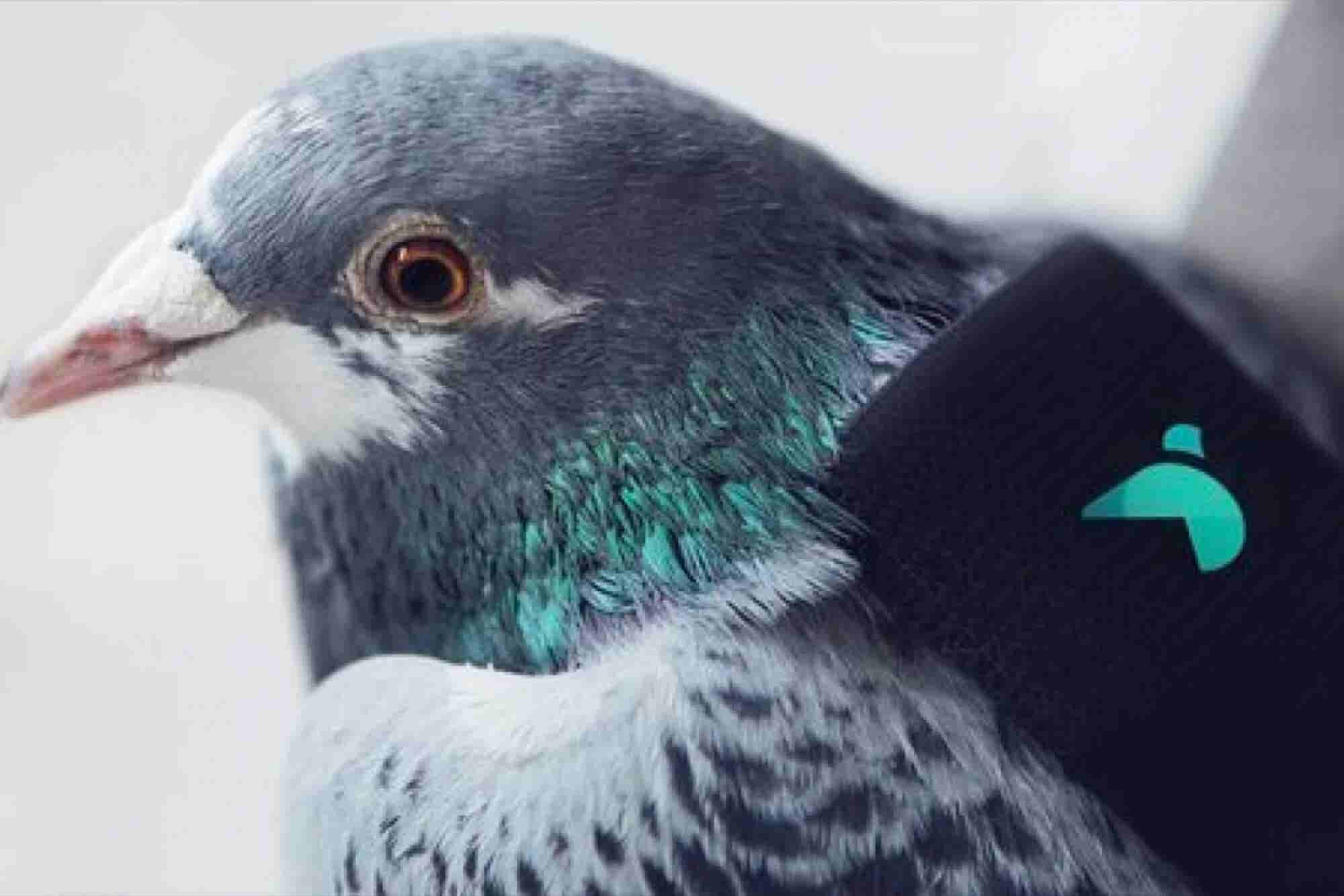 Why These Pigeons Are Wearing Tiny Backpacks
