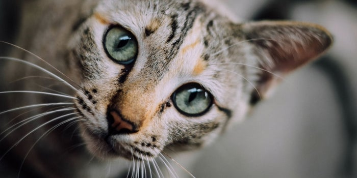 Rough News For Cat Lovers: Your Cuddly Kitty Could Make You Prone to Fits of Rage
