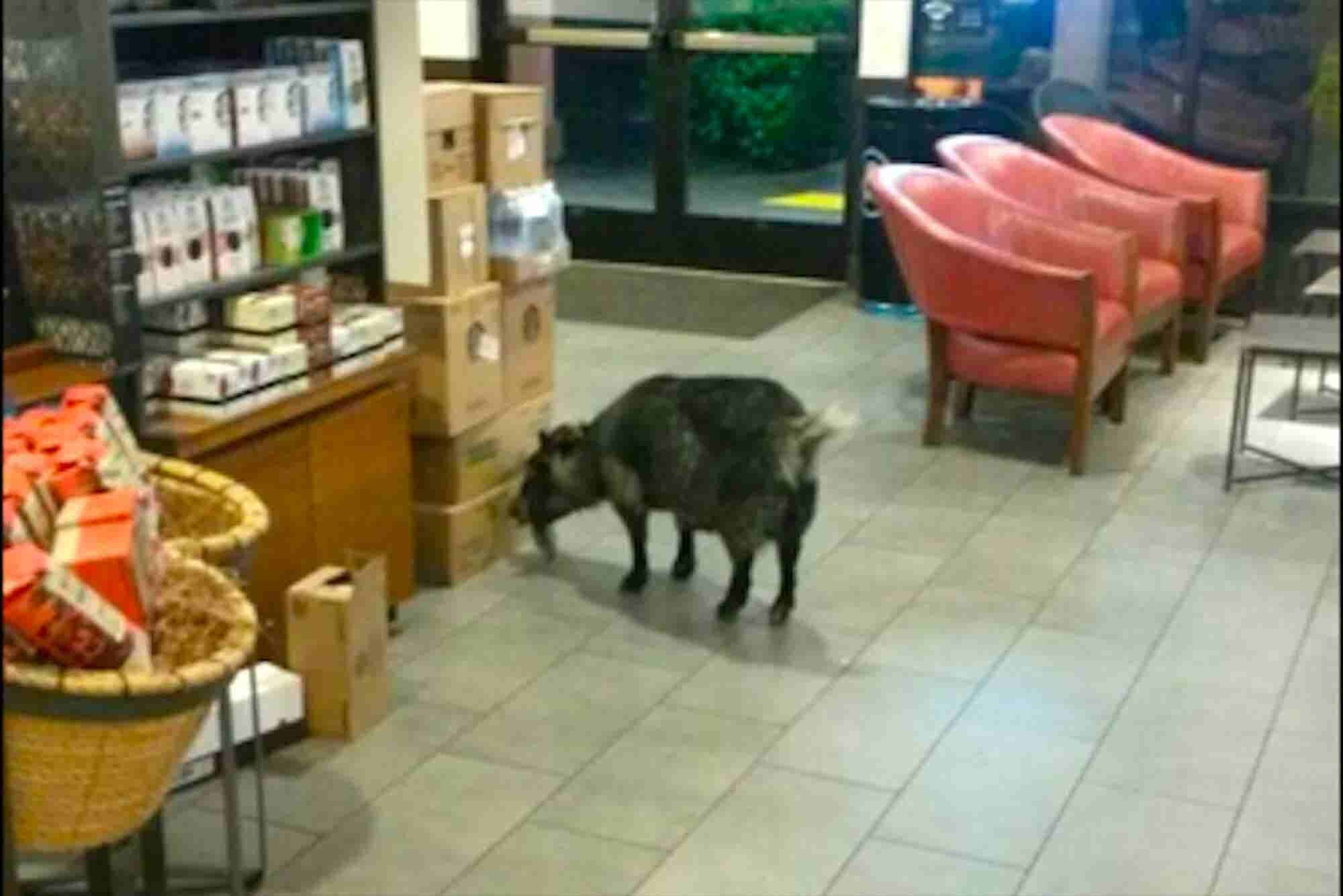 Brain Break: This Goat Needs Some Starbucks Baaaaad