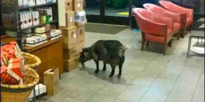 Brain Break: This Goat Needs Some Starbucks Baaaaad