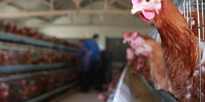U.S. Poultry Workers Say They Are Routinely Denied Breaks