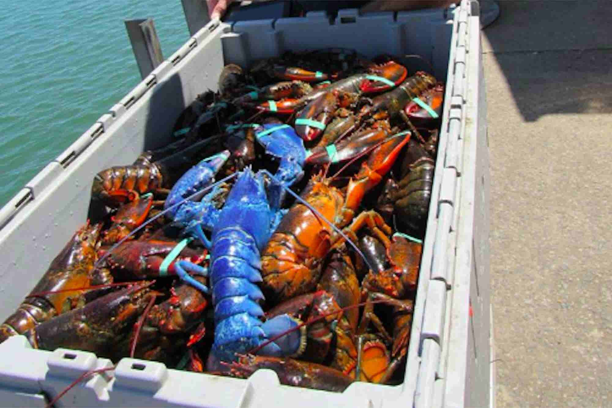 Brain Break: Forget About Unicorns. Check Out This Blue Lobster.