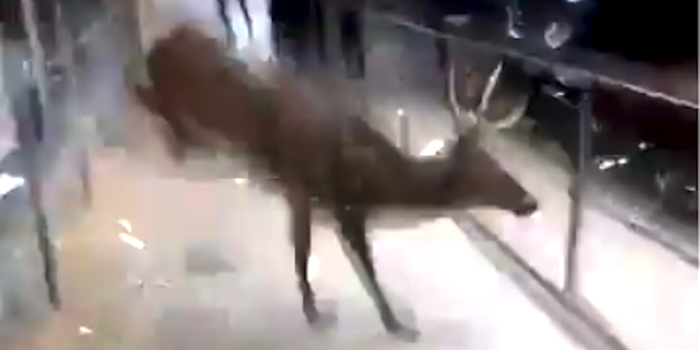 Watch: Deer Stuck in Clothes Store Gets the Buck Outta There