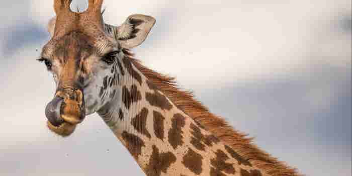 3 Powerful Marketing Elements Fueling the Mania for April the Giraffe