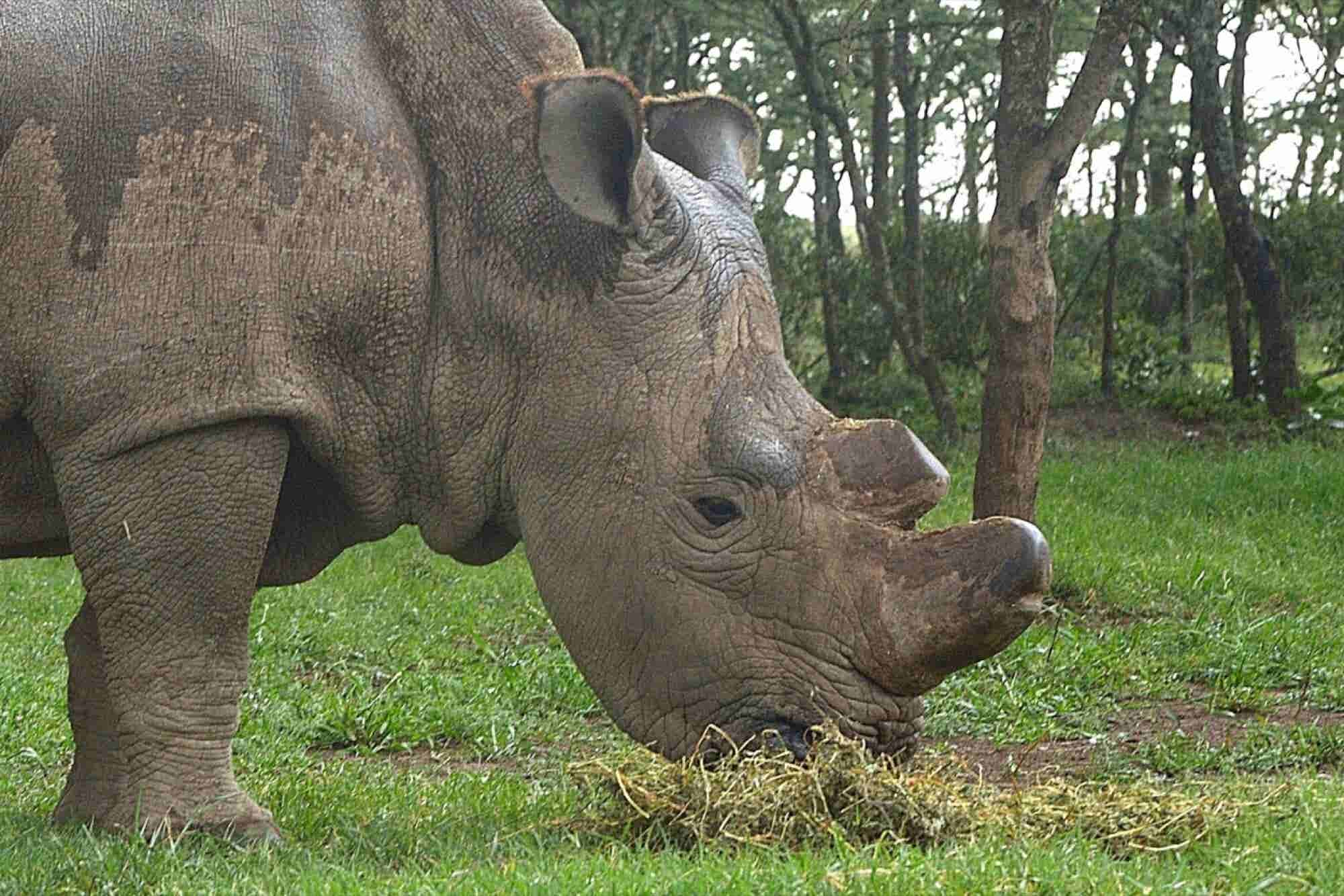 The World's Last Male Northern White Rhino Has Joined Tinder