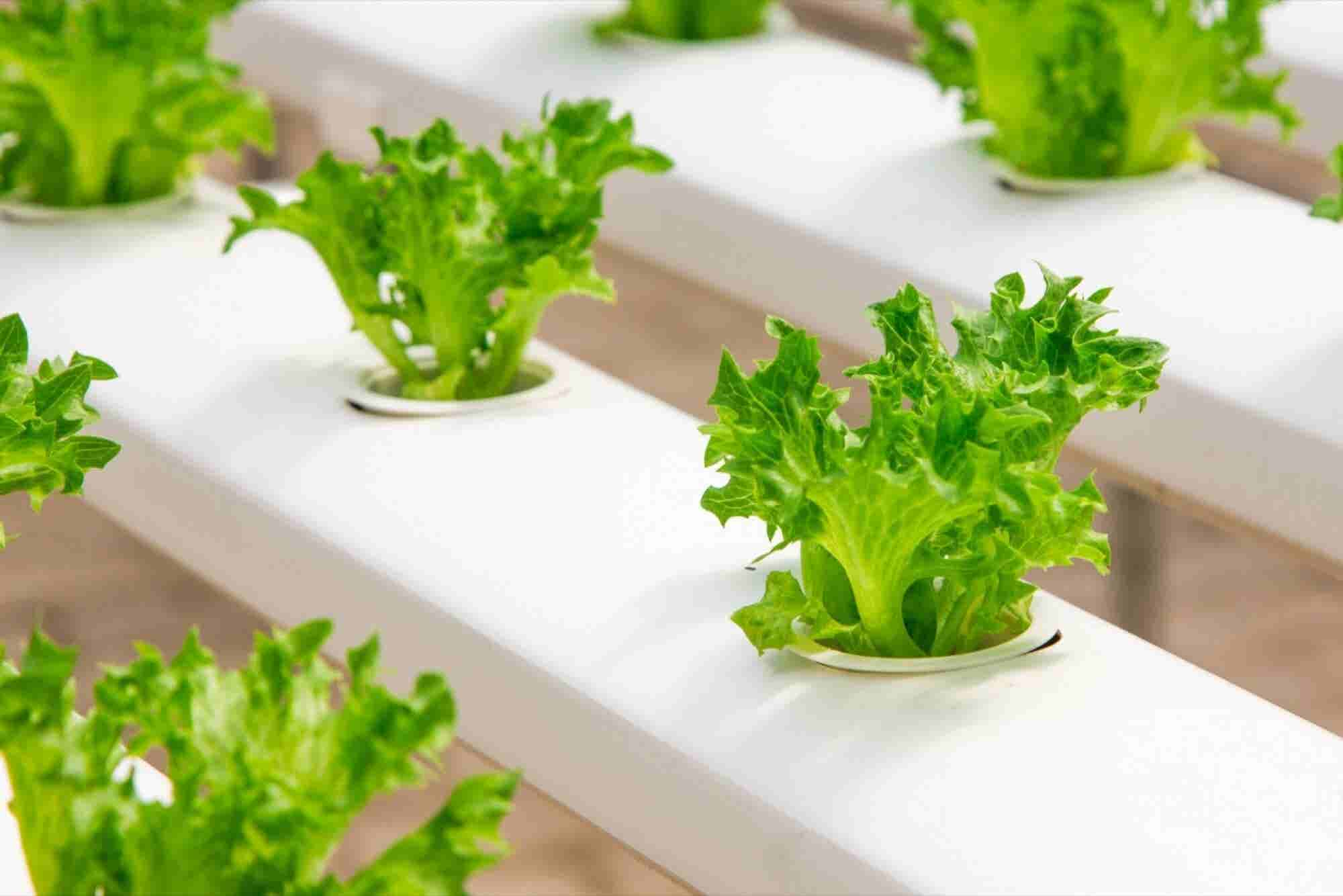 These #4 Start-ups Are Promoting Hydroponics in India