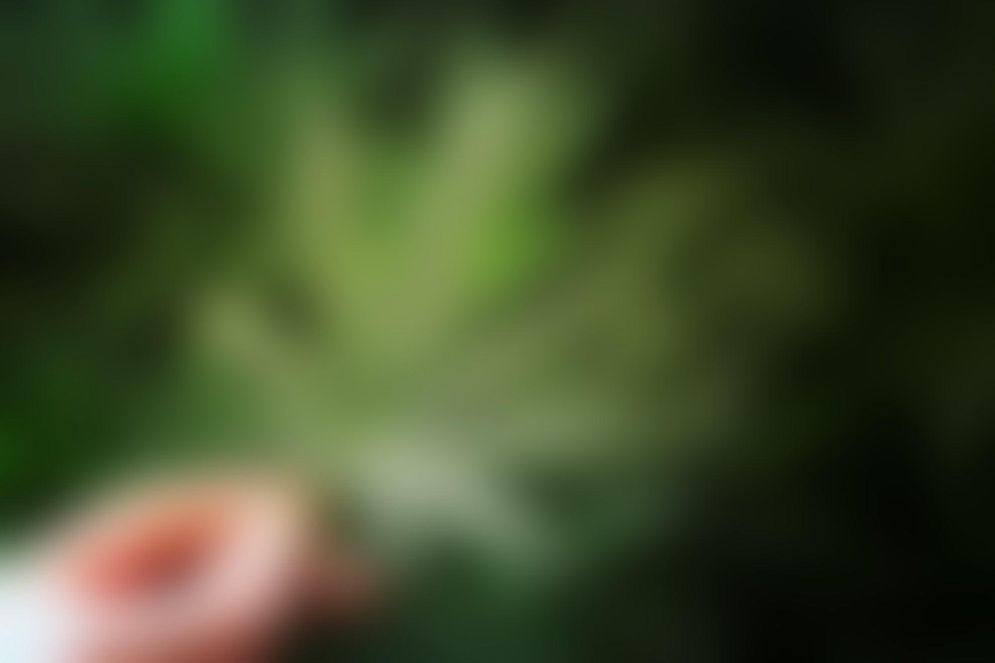 Así es la iniciativa que presentó Morena para despenalizar la marihuana en México