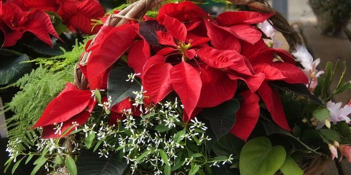 Idea de negocio: ¡Cultiva y vende Nochebuenas!