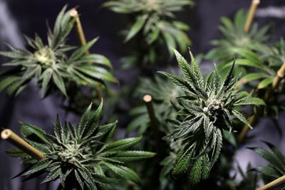 You Can Legally Buy Marijuana in California But Selling It Legally Is...