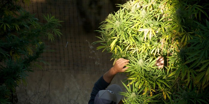Despite Being Illegal Under Federal Law, Cannabis Has Grown Into a $9 Billion Industry In States Where It Is Legal.