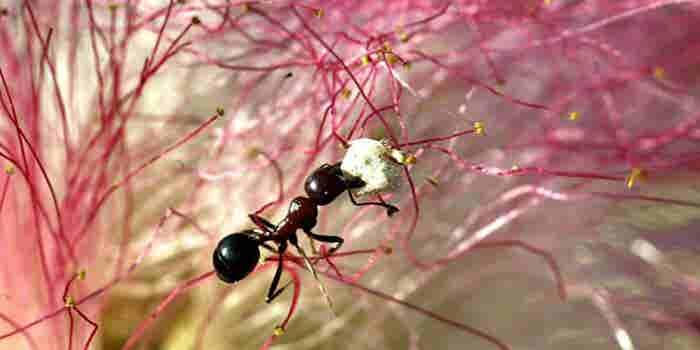 Mexicana investiga a la primera hormiga mutante del mundo