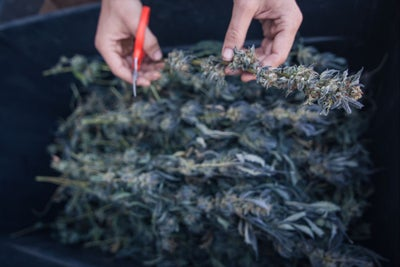 To Touch the Plant or Not: What Type of Cannabis Business Should You S...