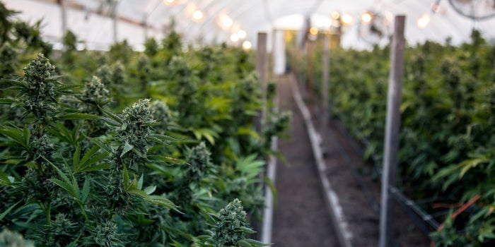 This Is How Your Cannabis Is Grown
