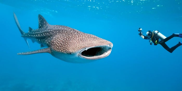 Alumnos mexicanos crean dispositivo para ayudar al tiburón Ballena