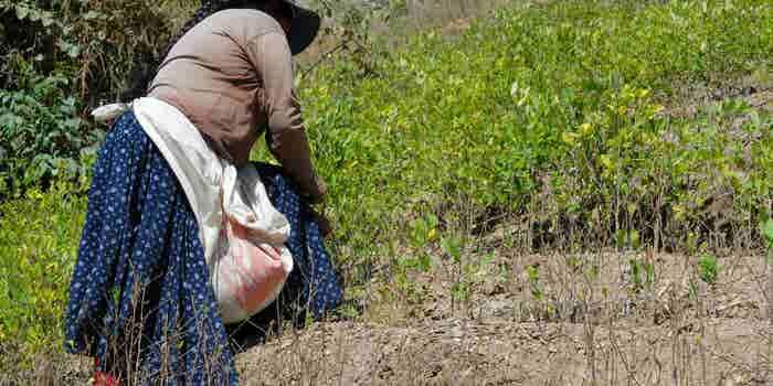 Por qué la coca triunfará sobre el café en Colombia