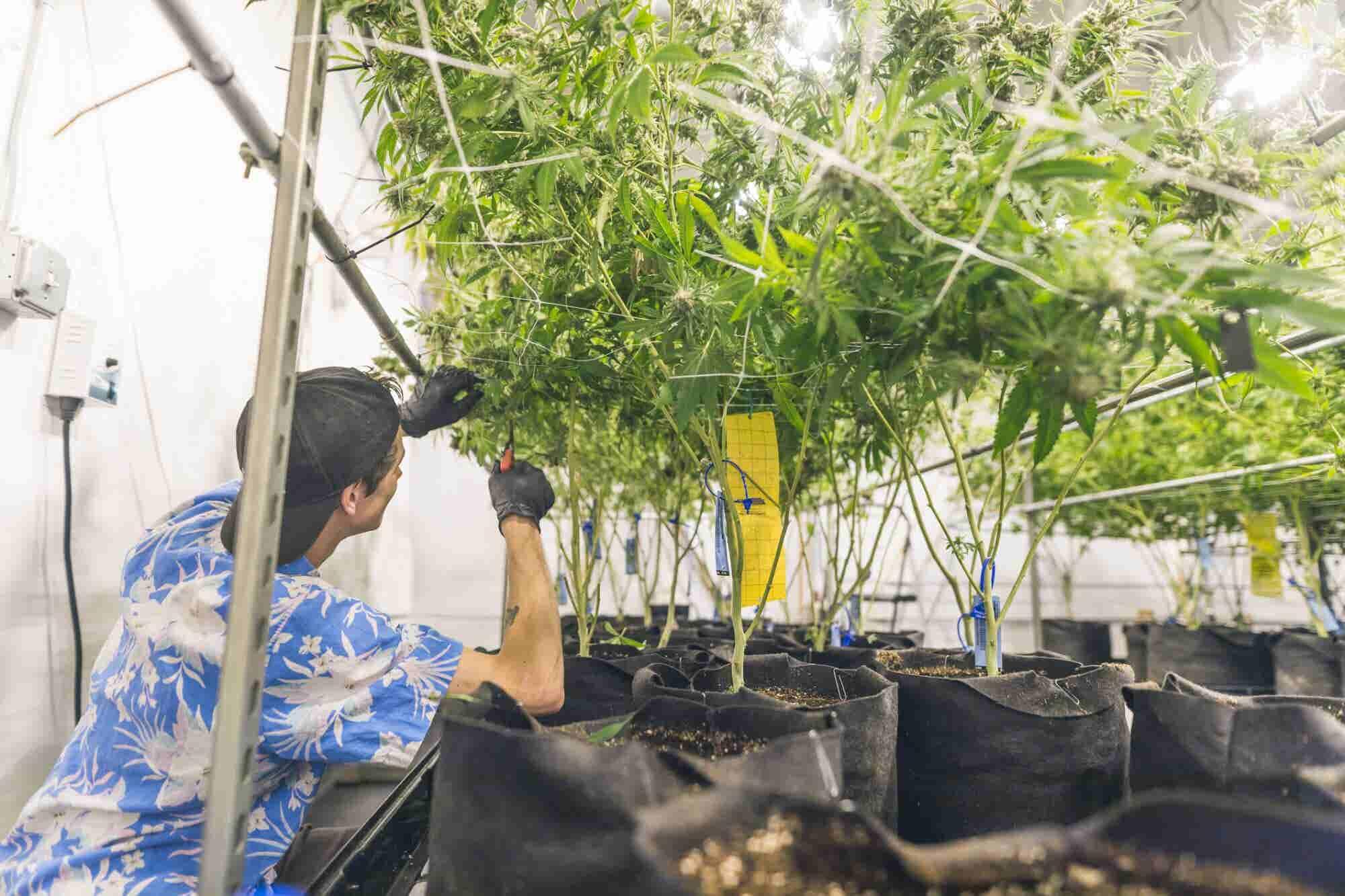 Many Licensed California Marijuana Growers Face Regulatory Roadblocks Getting Their Harvest to Market