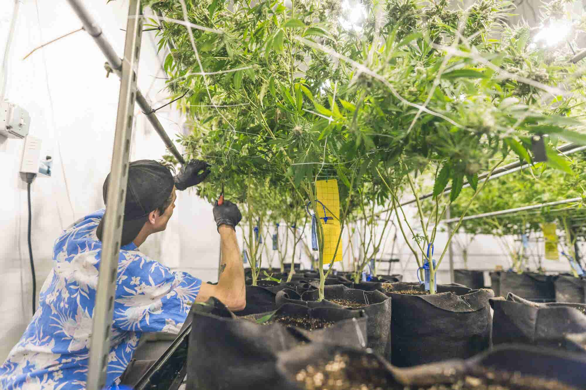 Many Licensed California Marijuana Growers Face Regulatory Roadblocks...