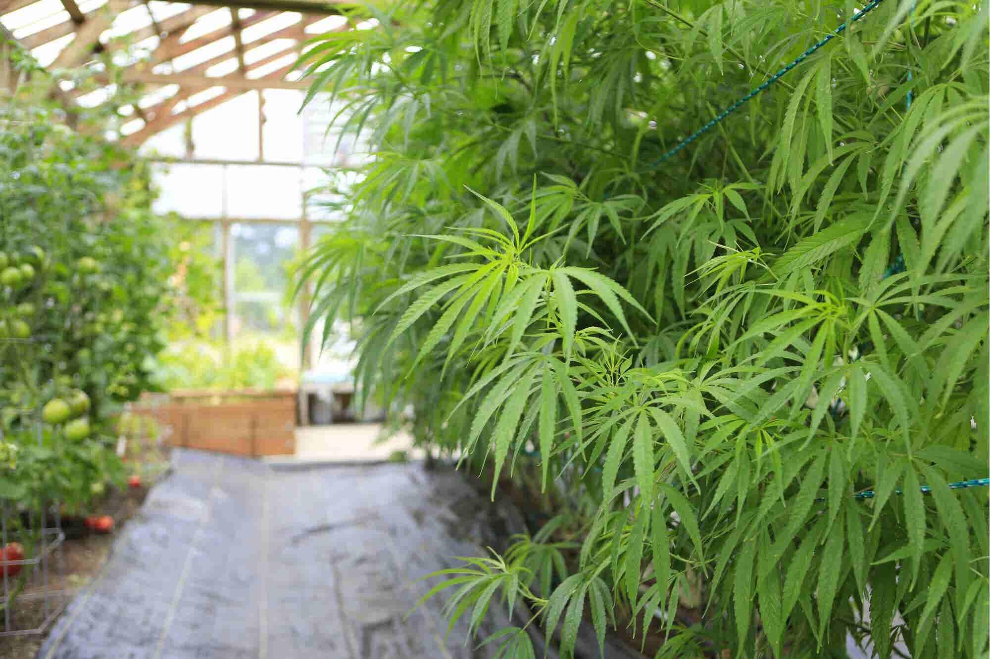 Esta empresa canadiense de marihuana medicinal crece 38% en la Bolsa estadounidense
