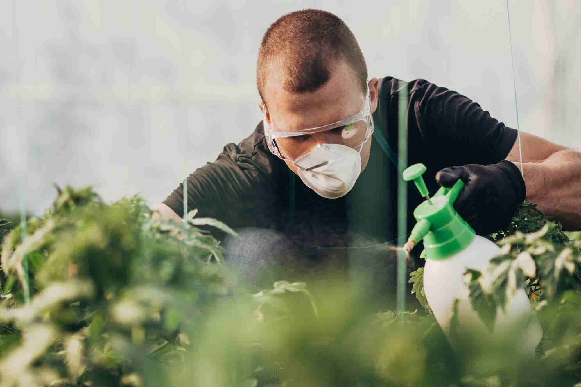 Pesticide Contamination Is a Growing Cannabis Safety Concern