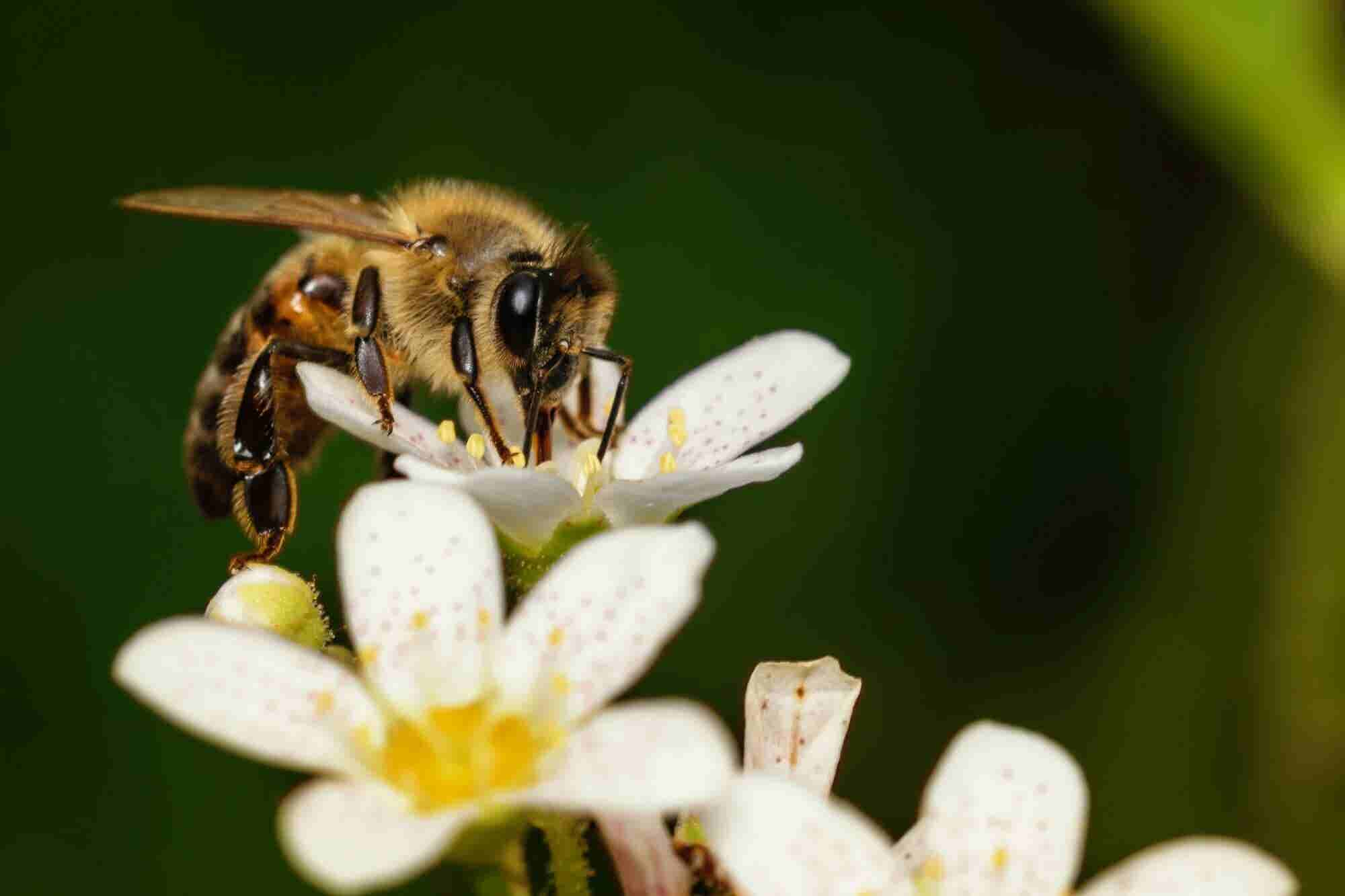 Call Them Canna-Bees. How Cannabis Helps Bees and Vice Versa.
