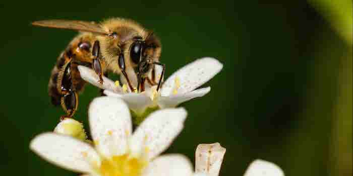 ¿Abejas 'marihuaneras'? Un estudio propone el uso de miel de animales consumidores de cannabis