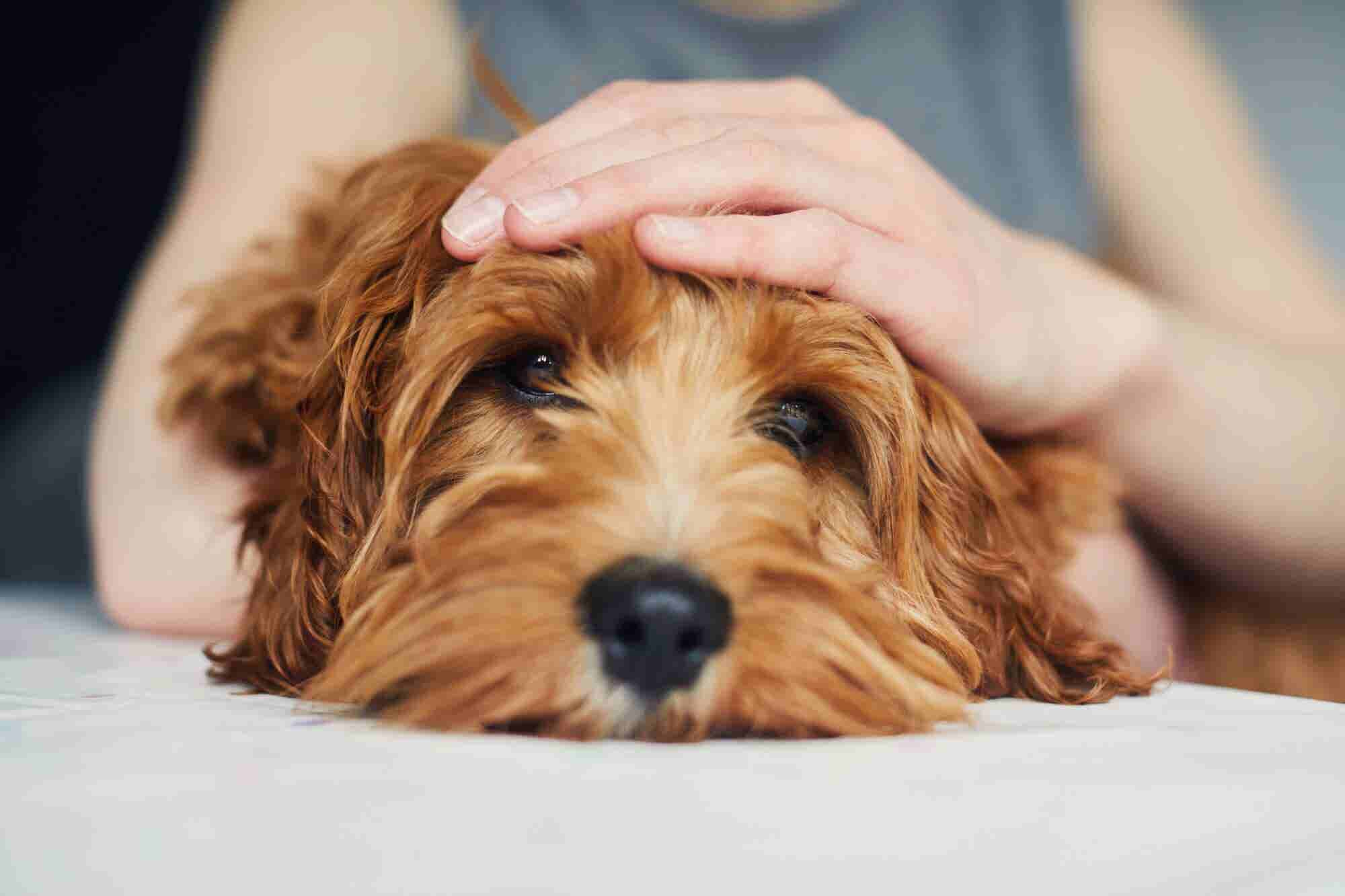 What You Need to Know About CBD for Pets