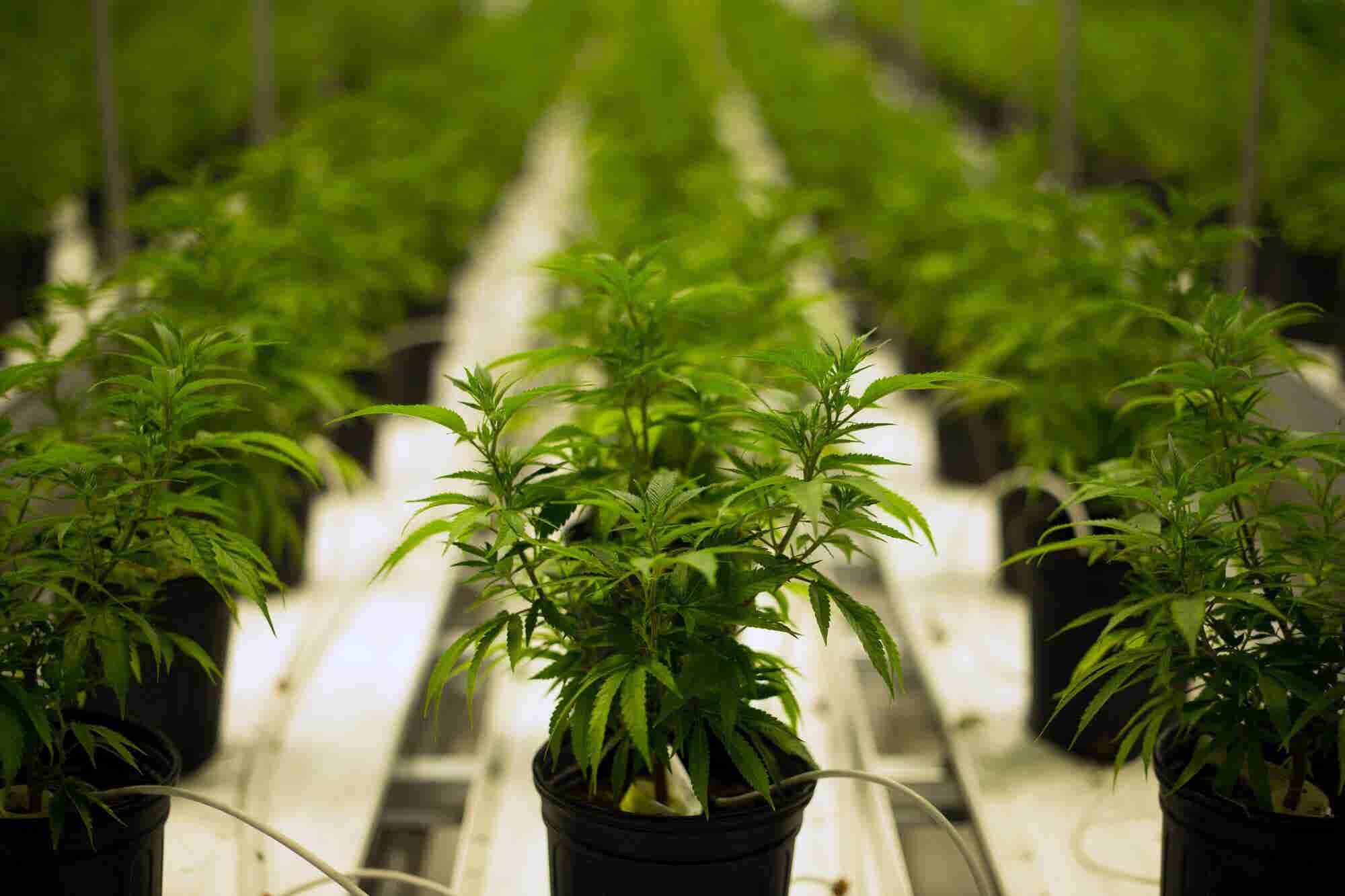 3 Long Debunked Arguments Against Legal Weed That Just Won't Die