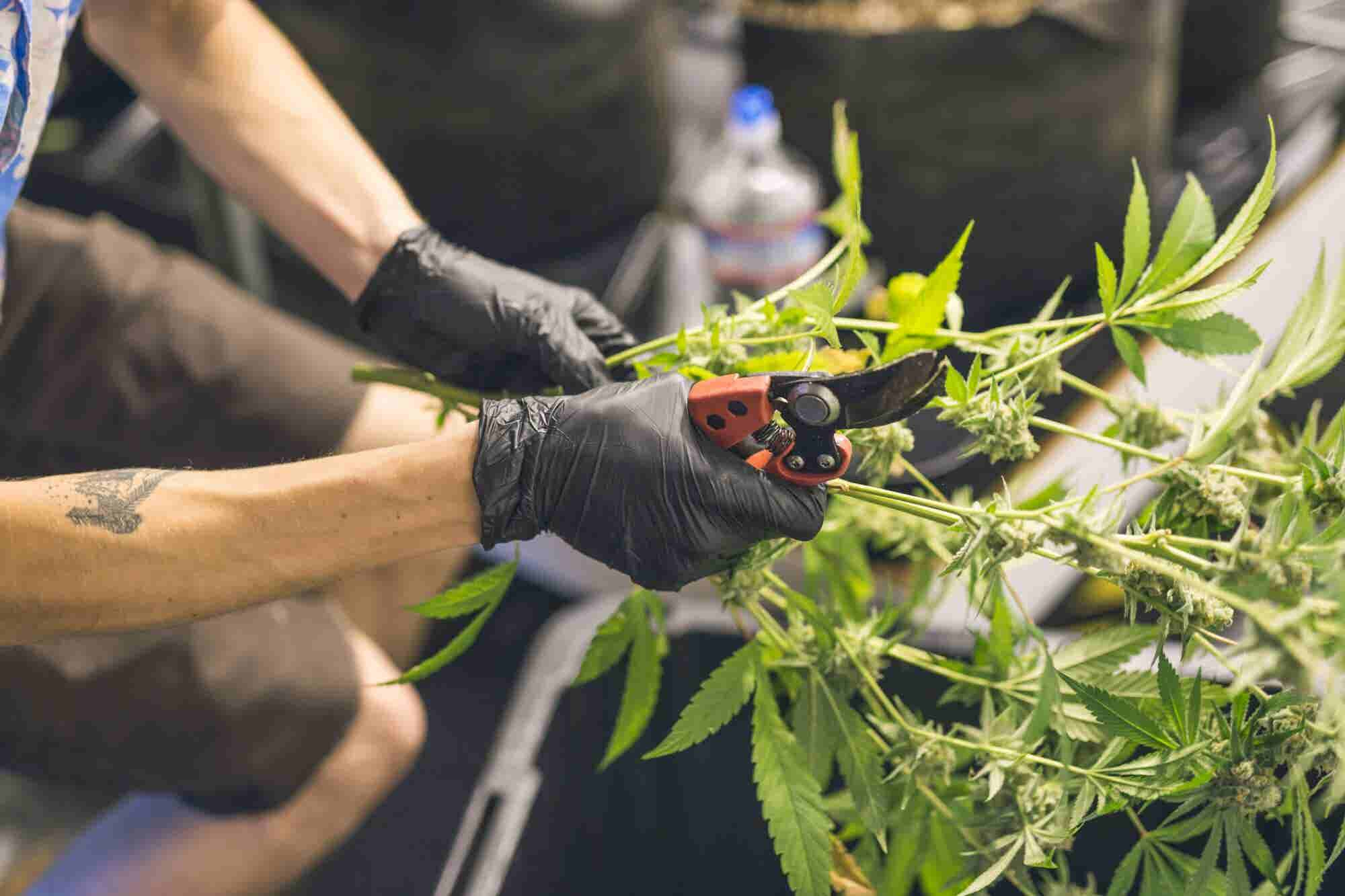 Oregon Has So Much Extra Weed, It Wants To Export It To California