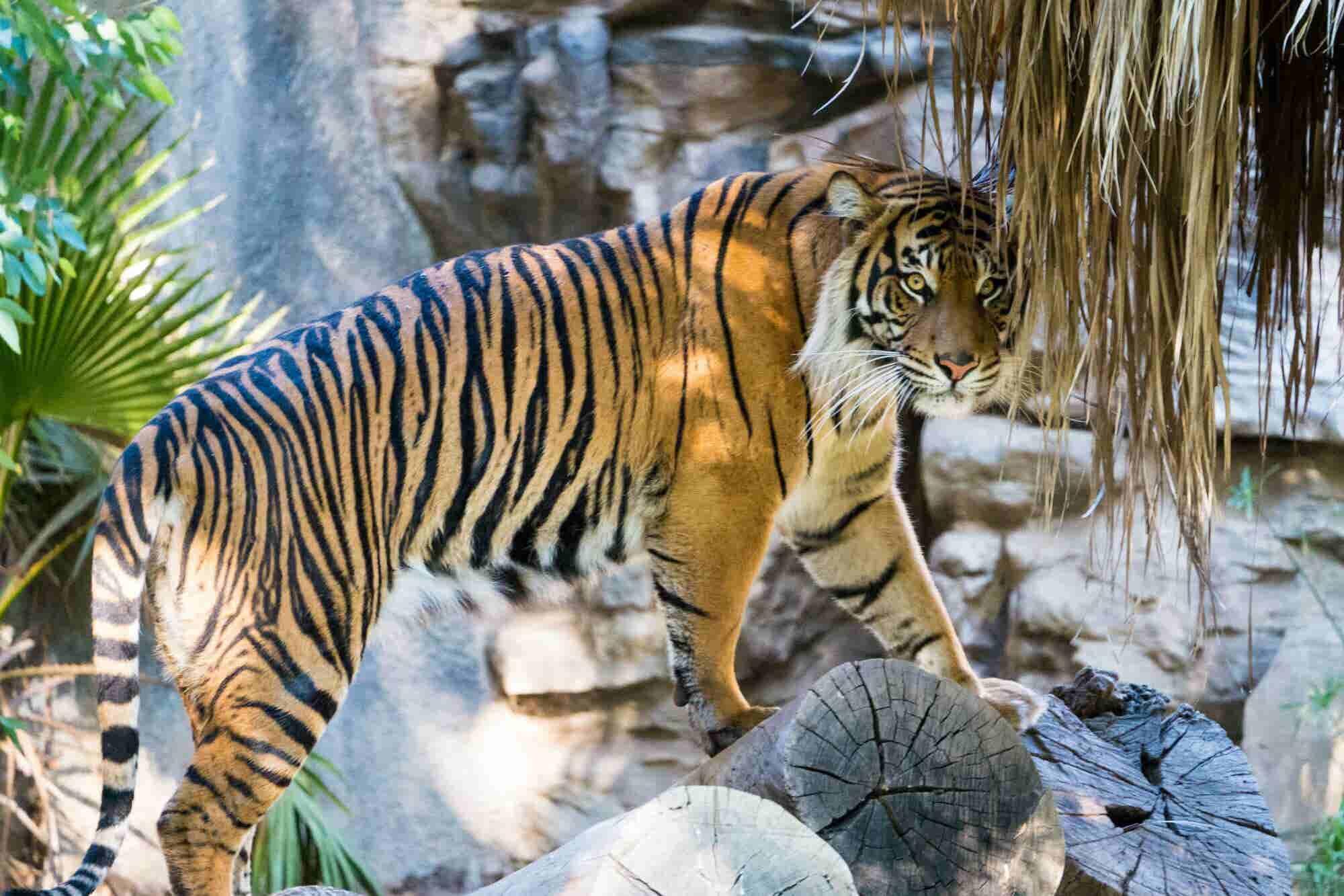 El plan en India que permite que las personas y los tigres convivan en paz