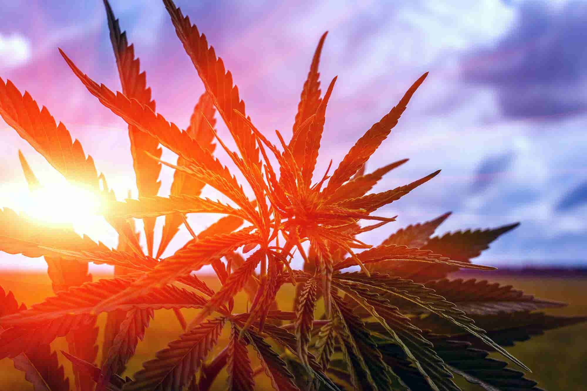 5 Big Predictions for Cannabis This Year