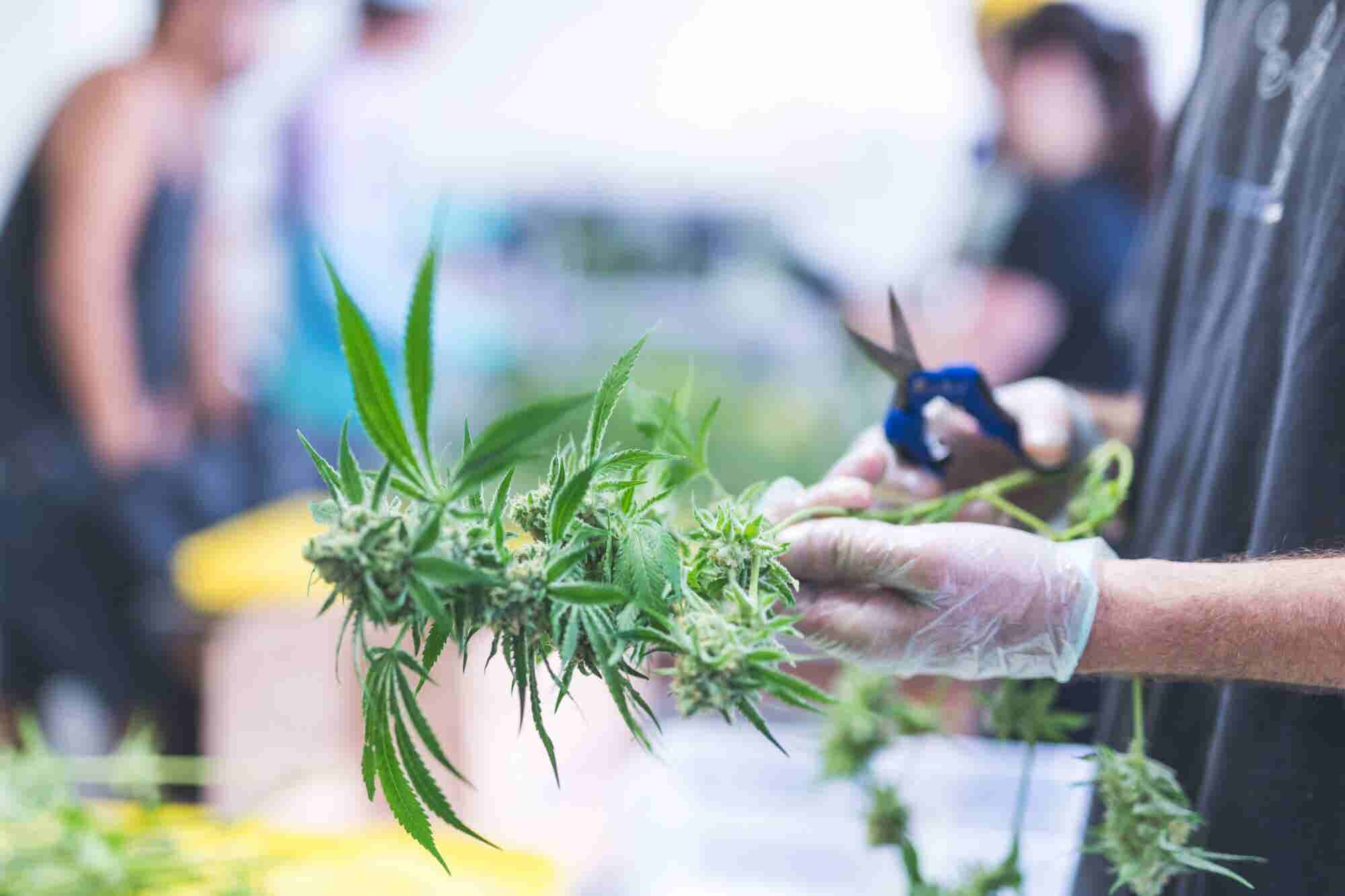 Small Businesses Face 6 Challenges in the Weed Market