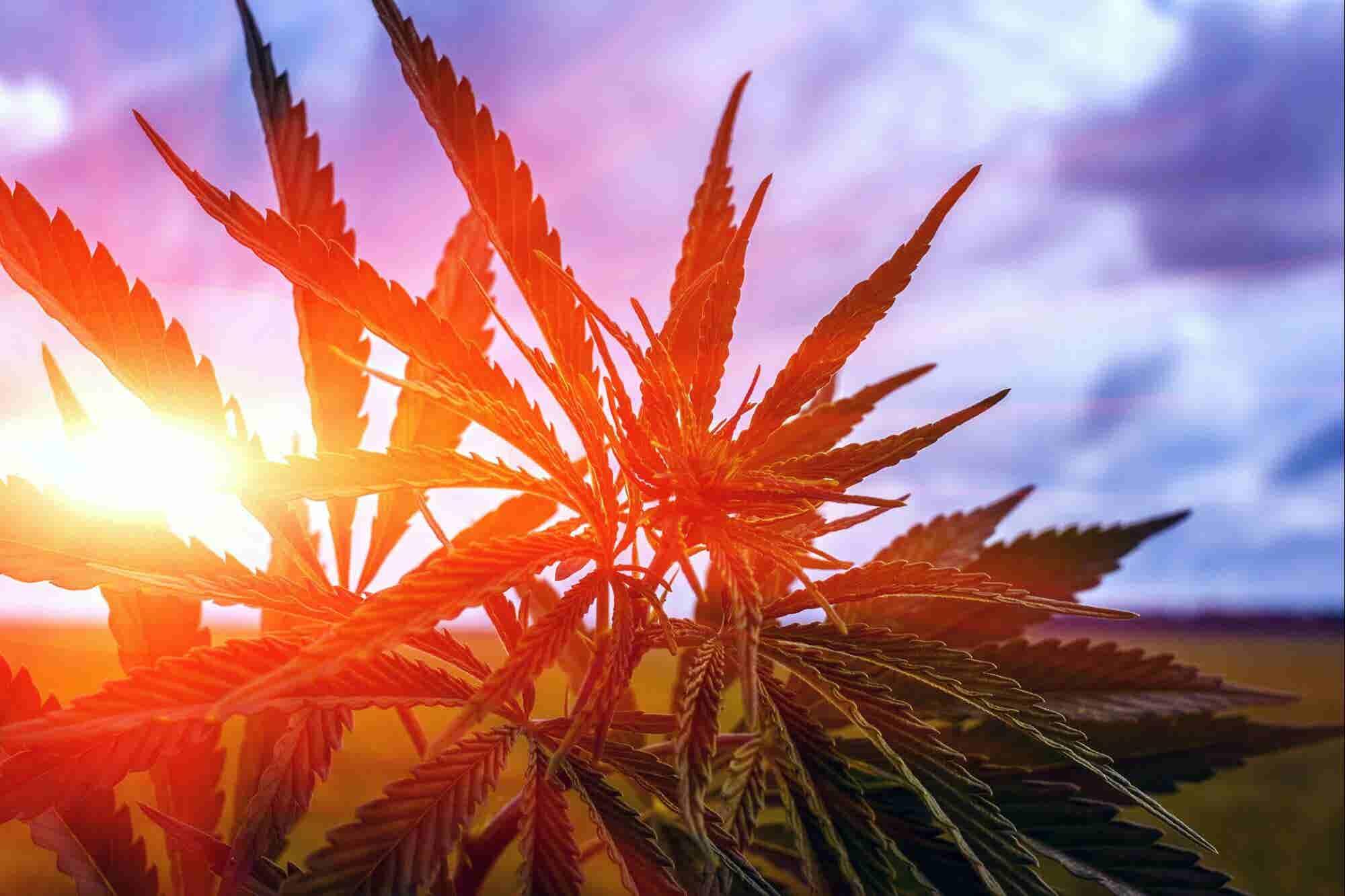 Las 5 grandes predicciones para el cannabis este año